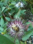 クレマチス・さのの紫 花後