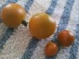 テラストマト・オレンジ