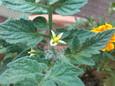 テラストマトの花