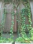 スネイルフラワーで緑のカーテン
