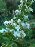 咲き始めのブッドレアの白