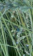 ラベンダーと青いハチ