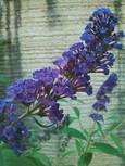ブッドレアの紫