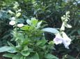 2年目のジギタリスの二番花