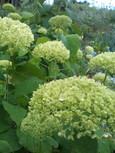 アナベル・咲き始めの緑