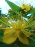 実の成るヒペリカムの花