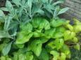 ベロニカとニオイスミレの葉