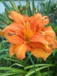 ヘメロカリス・オレンジの八重