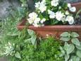 タイム、ツルニチニチソウ、ベゴニアの鉢