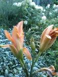 早朝、開花前のヘメロカリス