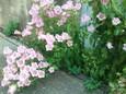 わき芽から開花したカンパニュラ