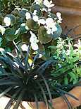 コクリュウ、ベゴニアの銅葉、ラベンダー