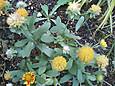 サンドリーム・ピーチの花後の綿毛