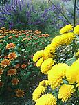 ガーデンマムとアメジストセージ