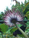 クレマチス・さのの紫の花後の後姿
